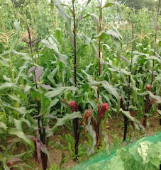 Sweetcorn seeds to buy from The Real Seed Catalogue UK